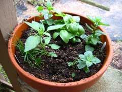 herbs in a pot